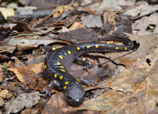 A spotted salamander
