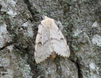 A female gypsy moth
