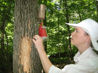 Scientist Claire Rutledge of the Connecticut Agricultural Experiment Station places parasitic wasps in Sleeping Giant State Park in Hamden in an effort to slow the spread of the emerald ash borer. The tracks of the borer can be seen on the tree trunk.