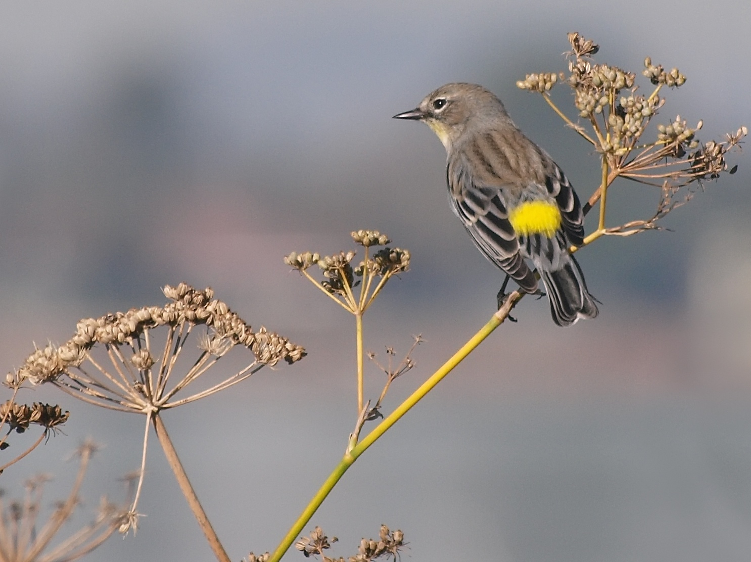 Stalking the yellow-rumped warbler