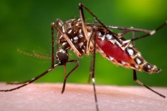 The Aedes aegypti that transmits the Zika virus.