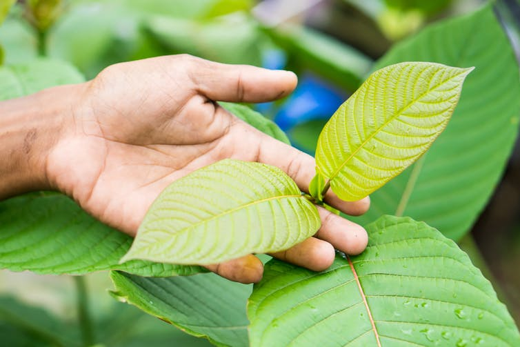 The dangers and potential of 'natural' opioid kratom