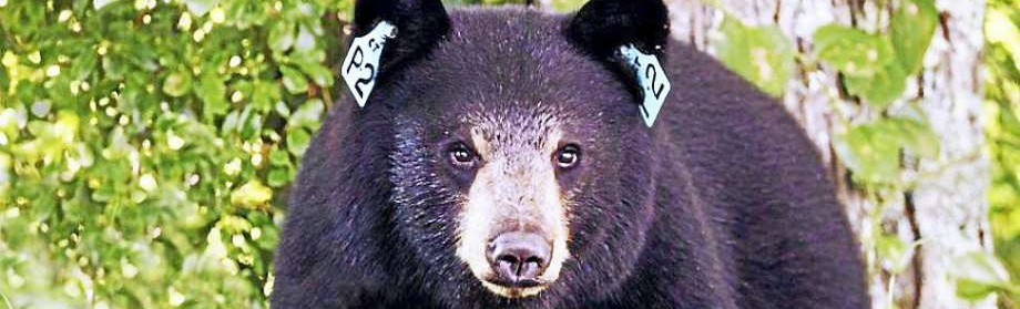 Connecticut should fear the hunters, not the bears