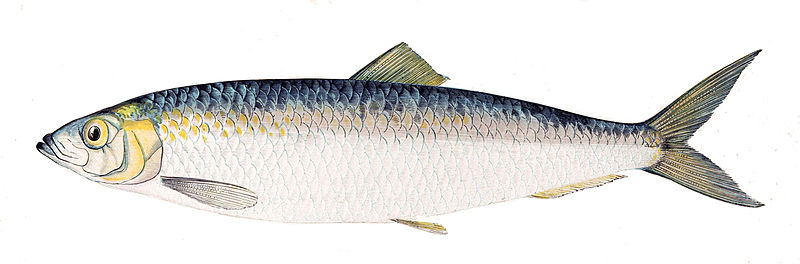 Connecticut should back this herring conservation plan