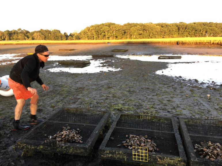 Seed oysters in the marsh off Long Island Sound. They face potential problems related to climate change including ocean acidification, which can keep them from forming shells and diseases like vibrio that flourish in the warming waters.